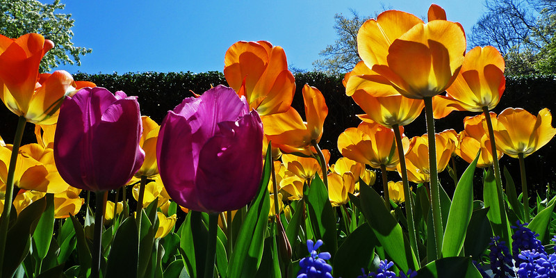 Tulips at the Conservatory Garden in Central Park, NYC - 2012