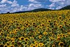 Second Mountain Sunflower Farm - Orwigsburg, PA - 2020