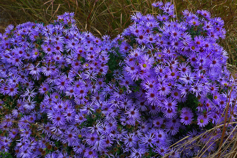 Asters on the High Line - Manhattan - 2011