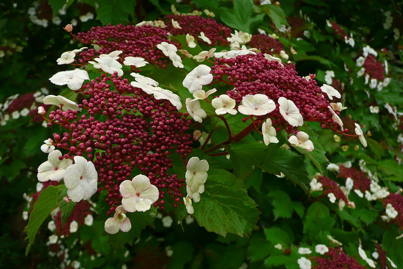My garden - Viburnam - 2008