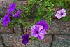 Petunias - Kreidersville, PA - 2008