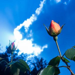 Backlit Roses 6