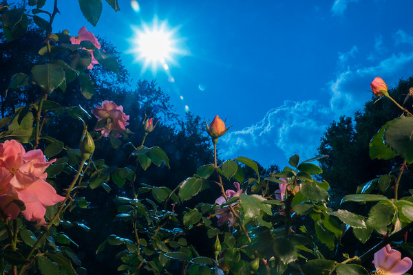 Backlit Roses 3