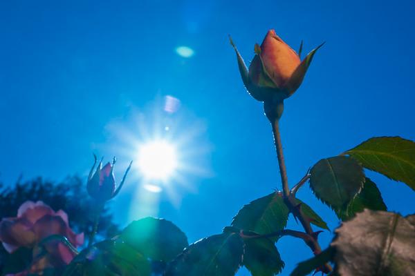 Backlit Roses 1