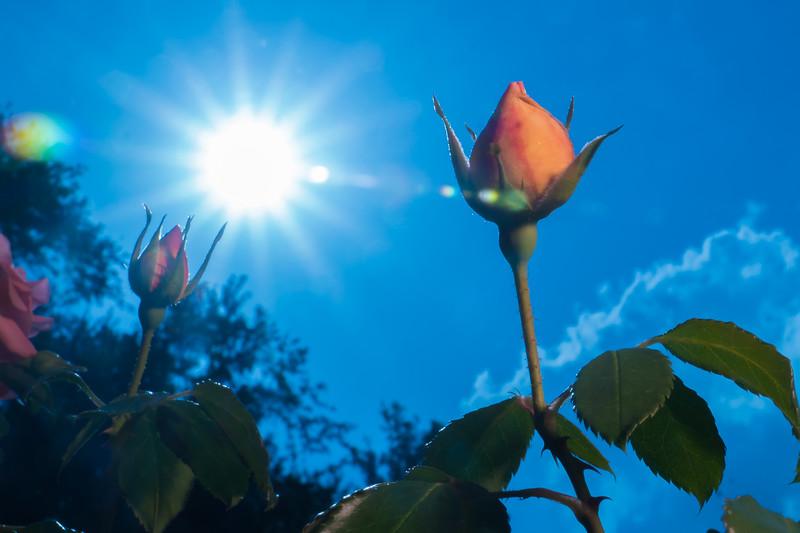 Backlit Roses 4