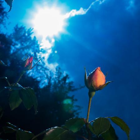 Backlit Roses
