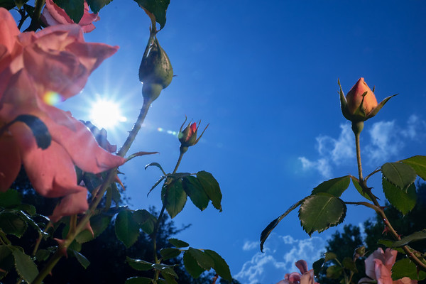Backlit Roses 2