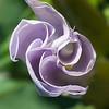 Flower of Jimson weed
