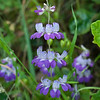Chinese houses  (Collinsia heterophylla)