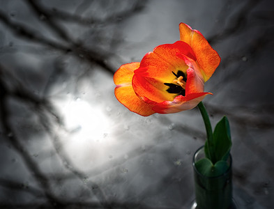 Tulip and vase in The Grand River Camera: Nikon D800e Lens:  Nikkor 85mm Micro PC