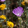Lewis' Clarkia and Golden yarrow