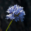 California gilia     (Gilia chilleifolia)