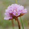Sea pink, Sea thrift, or Californai thrift