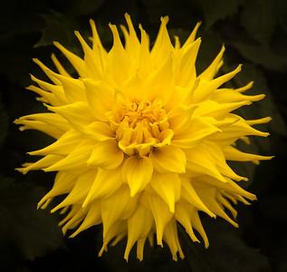 Yellow Dallia