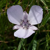 Large-flowered Star Tulip   (Calochortus uniflorus)