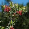 Toyon  -  Christmas Berry