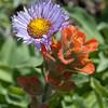 Seaside daisy & Seasidepainted cup