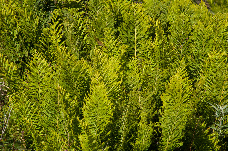 Chain Fern   (Woodwardia fimbriata)