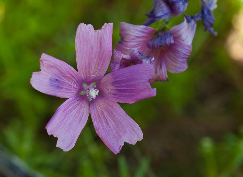 Checkerbloom   (Sidalcea malvifolra)