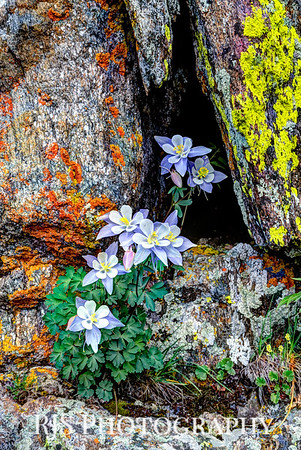 Columbine at Altitude