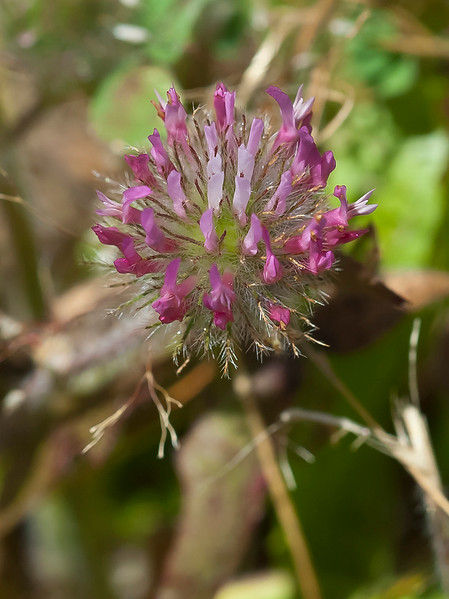 Rose clover (Trifolium hirtum)