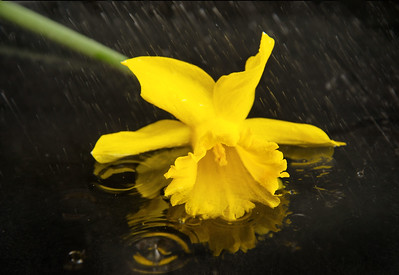 Daffodil in the rain Camera: Nikon D800e Lens:  Nikkor 85mm f/1.8