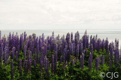 Lupine on the North Shore of Lake Superior