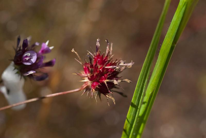 Spent clover flower