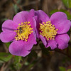 Pine rose  (Rosa pinetorum)
