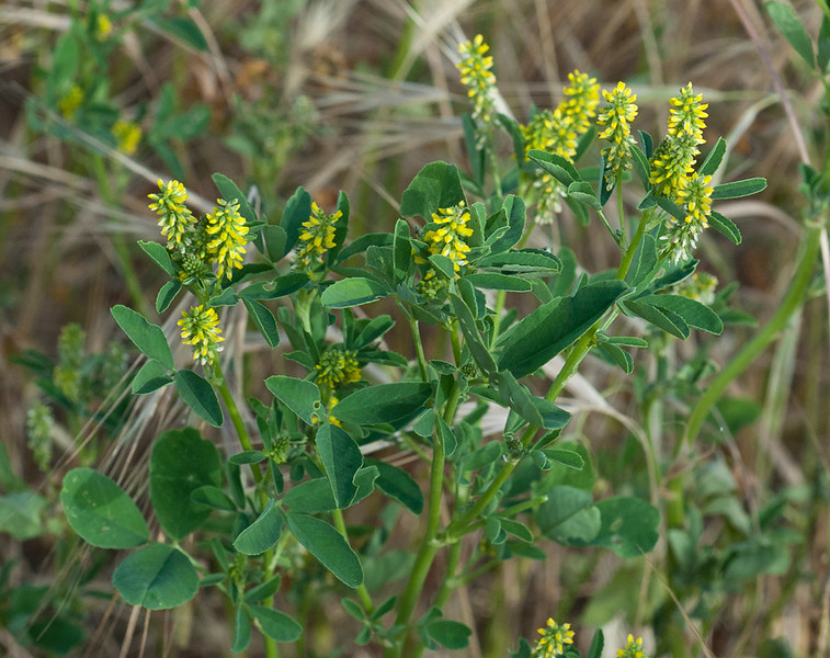 Indian melilot or Sweet clover
