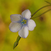 Narrow-leaved flax