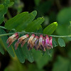 Giant vetch  (Vicia gigantea)