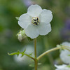 Fiesta flower in white