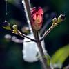 Coast figwort - Bee plant