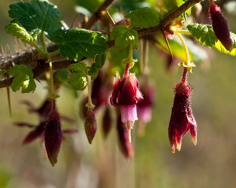 Fushia-flowered gooseberry