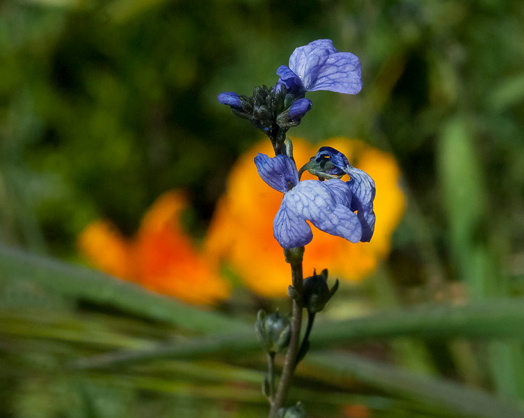Toad flax  (Linaria canadensis)