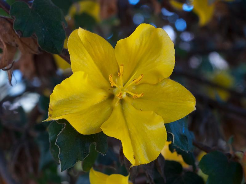 Fremontia or Flannel Bush  (Fremontontodendron californicum)