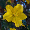 Fremontia or Flannel Bush  (Fremontontodendron californicum)