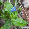 Bird's eye speedwell or Persian speedwell