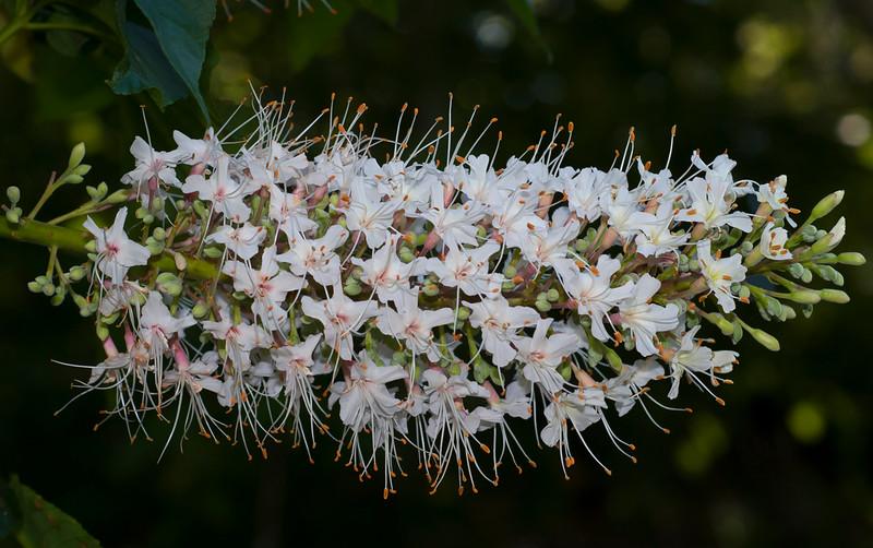 California Buckeye  (Aesculus californicus)