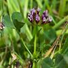 White-tipped clover  (Trifolium variegatum