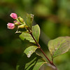 Common snowberry