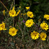 Common tarweed  (Madea elegans)