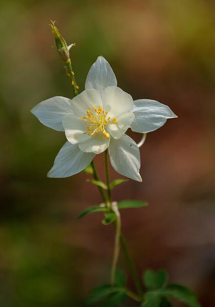 Columbine Flower - Wyoming
