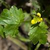 Prickle-fruited buttercup  (Ranunculus murictus)