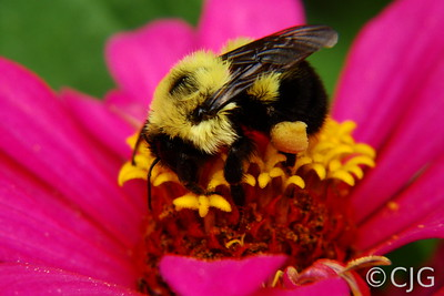 Bumble Bee on a Zinnia