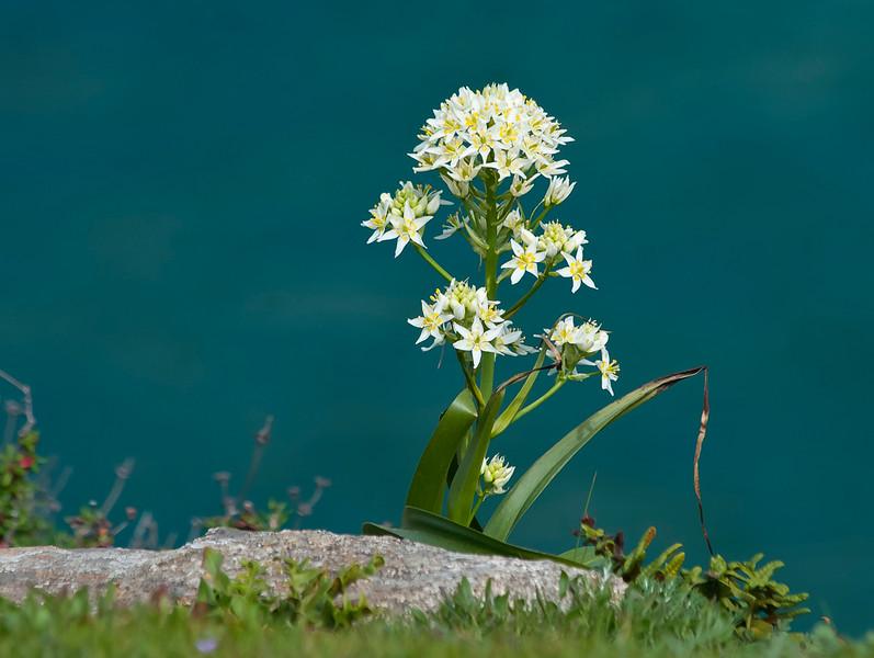 Fremont's Star lily or Star zigadene