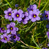 Blue-eyed Grass   (Sisyrinchium bellum)