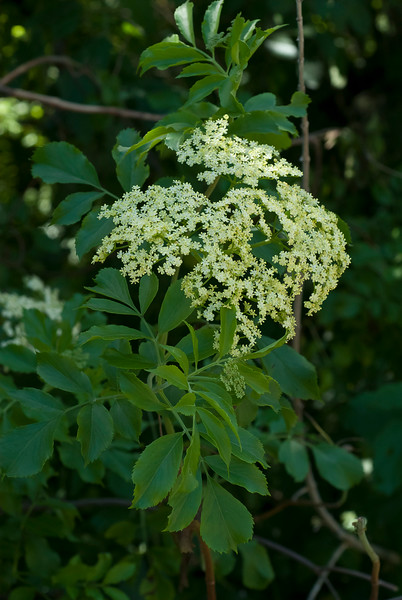 Blue elderberry  (Sambucus mexicana)