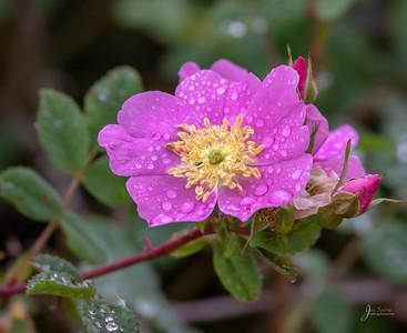 Primrose with Dew